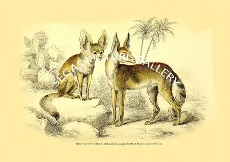 Fine art print of the FENNEC OF BRUCE (Megalotis zerda) & RED-BACKED FENNEC   by Sir William Jardine (1839-40)